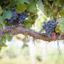 Uva Pinot Noir: tudo sobre uma das cepas mais elegantes do mundo