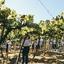 É tempo de vindima: saiba como é o período de colheitas das uvas em solo brasileiro