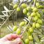 Arte e minúcia: entenda mais sobre a produção do azeite