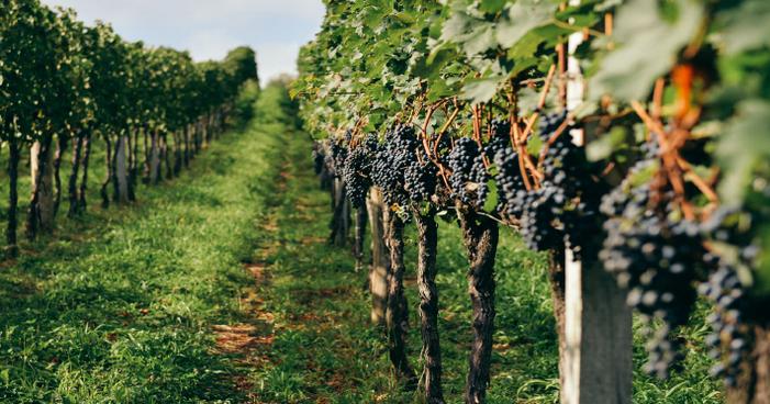 Tipos de uvas: tudo o que você precisa saber