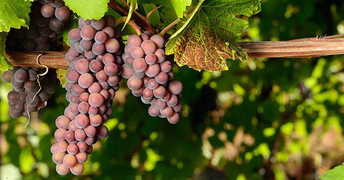 Pinot Grigio: conheça suas principais características