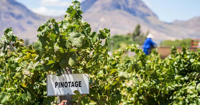 Uva Pinotage: o que você precisa saber sobre ela