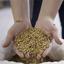 Cereais maltados: descubra aqui quais são eles
