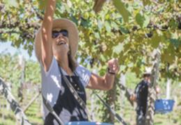 Vindima: das raízes italianas para os frutos brasileiros