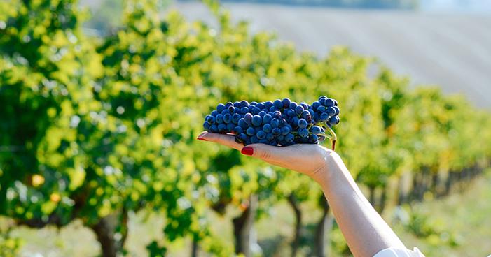 Conheça a uva Montepulciano e saiba tudo sobre a tradicional variedade italiana