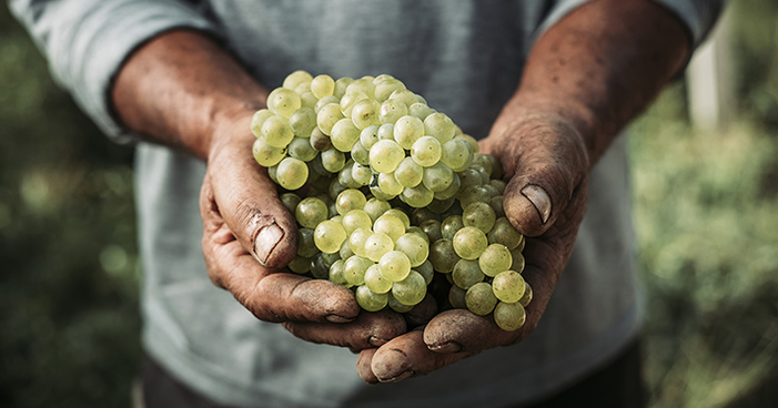 Entenda tudo sobre a uva Chardonnay