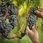 Tudo que você precisa saber sobre a safra de uva de 2017
