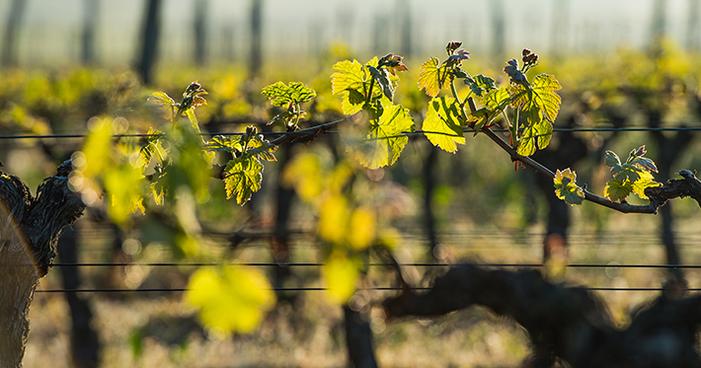Vinhos biodinâmicos: saiba o que são e conheça as suas características