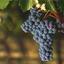 Cabernet Sauvignon Day: conheça a celebração da famosa uva