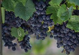 Petit Verdot: conheça essa robusta uva francesa