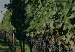Reviva a tradição da colheita da uva com a Famiglia Valduga