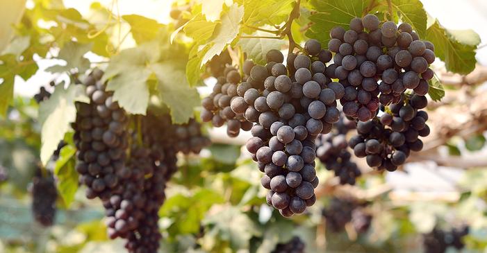 Tudo o que você precisa saber sobre a uva Merlot