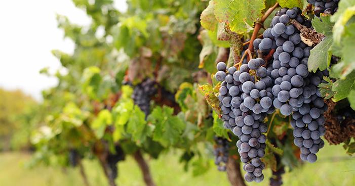 Uva Syrah: saiba mais sobre uma das uvas mais antigas do mundo