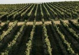 Vinhos do Rio Grande do Sul: quais uvas se adaptam bem em cada região?