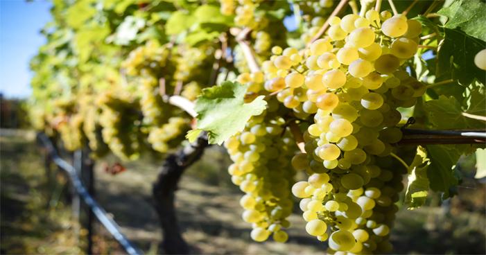 Conheça os mistérios da uva Viognier e dos seus vinhos