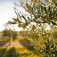 A importância do clima para a produção das oliveiras