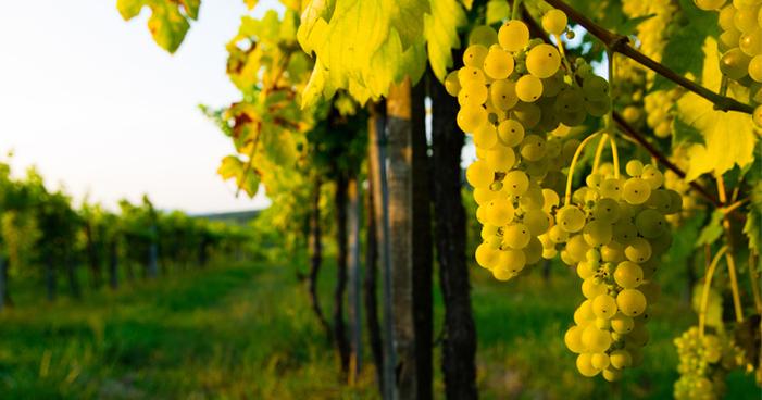 Uva riesling: conheça as características e os vinhos que ela produz